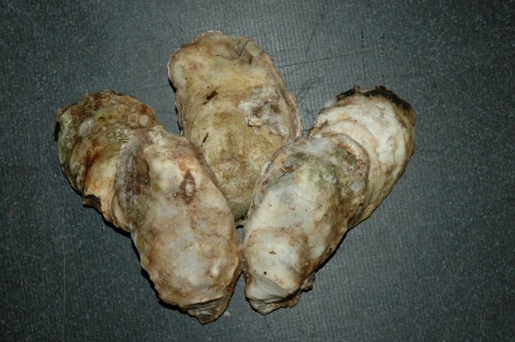 Oysters: Kachemak Bay's Developing Aquacultural Industry
