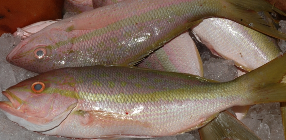 Yellowtail Snapper | Yellow Tail Snapper | Seacore Seafood