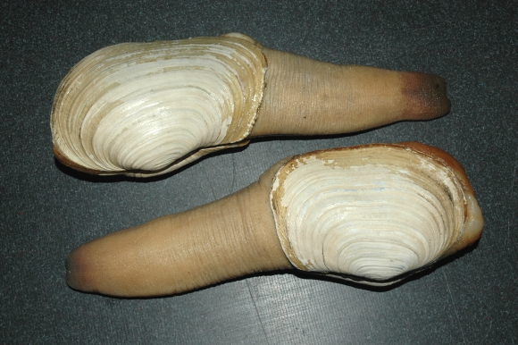 Geoduck Clam Seacore Seafood Products