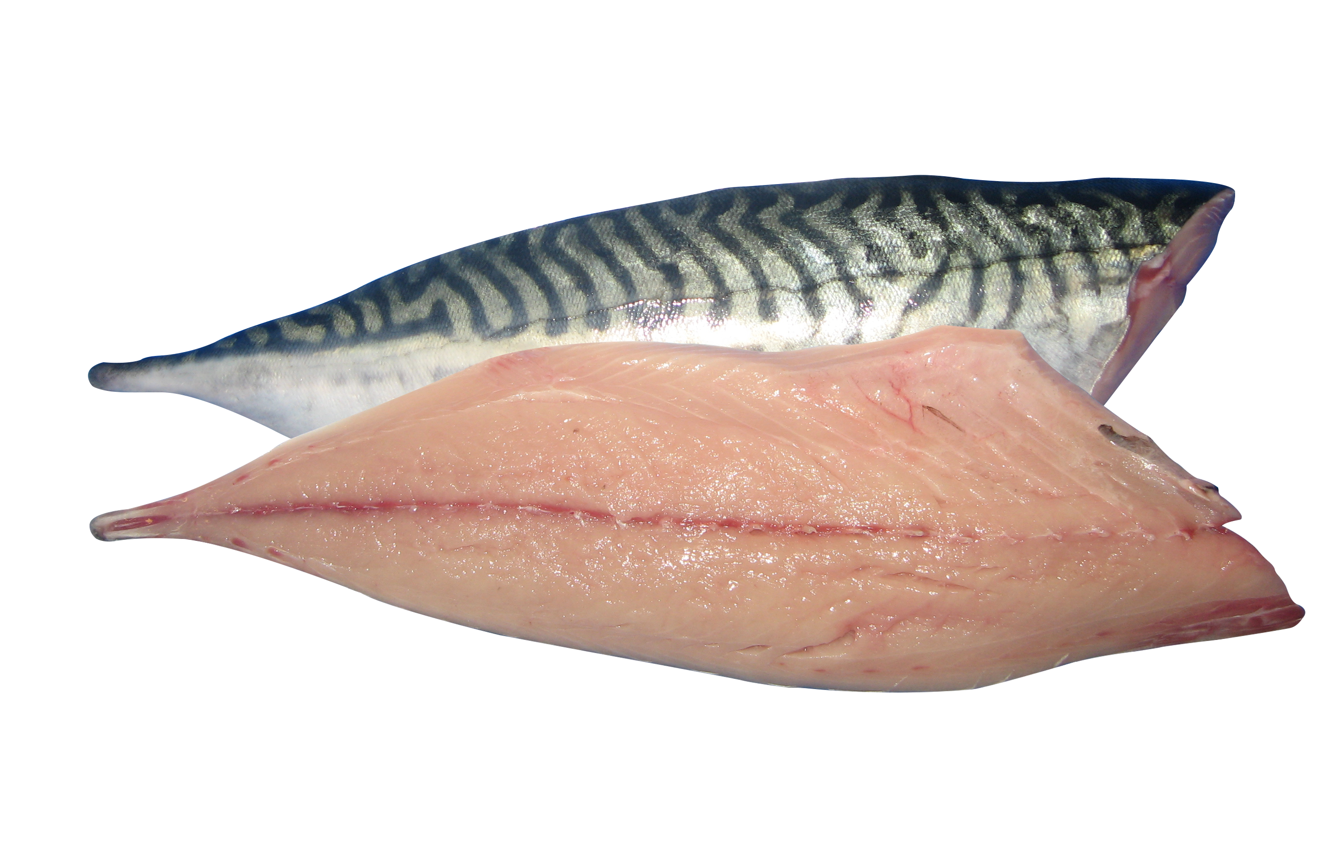 Mackerel Atlantic Mackerel